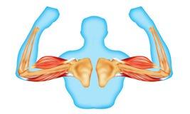Músculos y hueso de la carrocería stock de ilustración