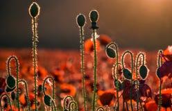 A música de campo das flores da papoila nota o conceito Imagens de Stock Royalty Free