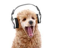 Música de escuta do filhote de cachorro da caniche em auscultadores Imagem de Stock Royalty Free