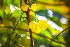 Mûr du raisin doux image libre de droits