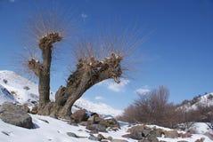 Mûre de l'hiver photos libres de droits