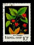 Mûre en pierre - saxatilis de Rubus, serie sauvage de baies, vers 1982 Photo stock