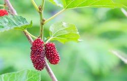 Mûre fraîche, mûres non mûres rouges sur la branche de l'arbre photographie stock