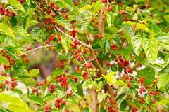 Mûres non mûres rouges fraîches sur la branche de l'arbre photo stock