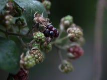 Mûres/mûres sauvages sur le buisson dans diverses étapes de maturité photographie stock