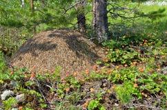 Mûrier autour de fourmilère Photographie stock libre de droits