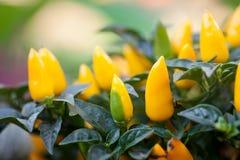 Mûrissez l'usine jaune de poivrons Belle photographie verte décorative colorée de foyer sélectif de légumes-feuilles  shallow Images libres de droits