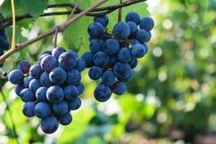 Mûrissez les raisins de noir bleu - raisins accrochants de vigne Photo libre de droits