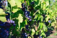Mûrissez les raisins de noir bleu - vigne organique unharvested Images stock