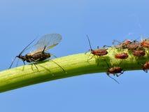 Mücke und Blattläuse auf Stamm Stockbild