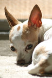 Müde Chihuahua in Farbe 1 Stockfotografie