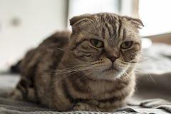 Müde, gestörte, verärgerte Katze schottische Falte schaut traurig vor ihm, da ihr nicht erlaubt wird, nach Nachtwegen stillzusteh stockfoto