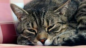 Müde nette Katze stock footage
