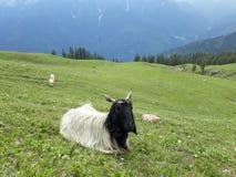 Müde Schafe Lizenzfreie Stockfotografie