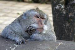 Müder alter männlicher Affe Stockfoto