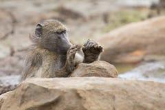 Müder Chacma-Pavian sitzen auf Felsen, um nach hartem Tag stillzustehen Stockfotografie