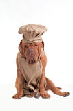 Müder Chef-Hund mit Vorfeld-und Chef-Hut lizenzfreie stockfotografie