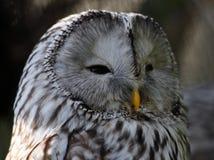 Müder großer Gray Owl schaut rechts Stockbild