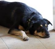 Müder Hund Stockfoto