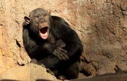 Müder Schimpanse Lizenzfreie Stockfotografie