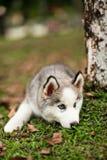 Müder Schlittenhund Stockfotografie