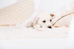 Müder weißer Welpe, der auf dem Sofa liegt Stockfotografie