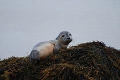 Müdes Hafen-Robbenbaby, das eine Pause macht lizenzfreie stockfotografie