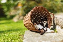 Müdes Kätzchen, das in der lustigen Position versteckt im Weinlesekorb schläft Stockbild