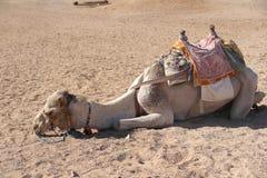 Müdes Kamel, das auf dem Sand liegt Lizenzfreies Stockfoto