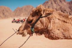 Müdes und erschöpftes Kamel, das in Sinai-Wüste geht Ausnutzung von Tieren stockfoto