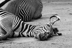 Müdes Zebra aus den Grund lizenzfreie stockbilder