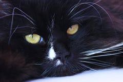 Mündung der Katze Nette Mündung der Nahaufnahme der schwarzen Katze Stockfoto