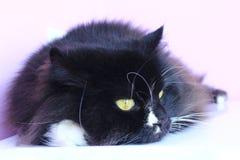 Mündung der Katze Nette Mündung der Nahaufnahme der schwarzen Katze Lizenzfreies Stockfoto