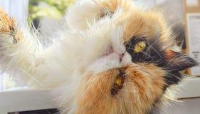Mündung einer drei-farbigen Katze des persischen Zuchtabschlusses oben Stockbilder