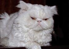 Mündung einer weißen Katze der persischen Zucht gegen ein dunkles backgr Lizenzfreie Stockbilder