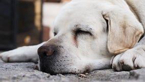 Mündung eines erwachsenen Labrador-Hundes, der auf dem Boden schläft stock video