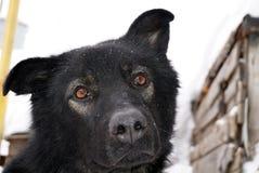 Mündung eines schwarzen Hundes Stockfotografie