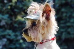 Mündungs-Yorkshire-Terrier in einer Profilnahaufnahme Stockfotos