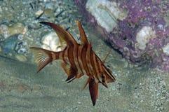 Mürrische Fische Lizenzfreies Stockfoto