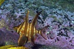 Mürrische Fische Lizenzfreie Stockfotos