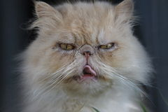 Mürrische haarige Katze in Burano Venedig Lizenzfreie Stockbilder