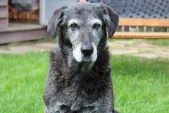 Mürrischer älterer Hund im Hinterhof Stockfoto