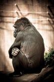 Mürrischer Gorilla Stockbilder