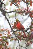 Mürrischer Kardinal Lizenzfreies Stockbild