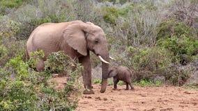Mürrischer männlicher Elefant, der Baby schlägt stock video footage