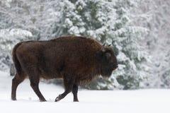 Mütterliches Brown Bison Close Up Wilder Europäer Brown Bison Bison Bonasus In Winter Time Erwachsener Aurochs-Wisent, Symbol des lizenzfreies stockfoto