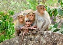 Mützen-Makaken - indische Affen - Familie mit einem Jungen, der auf einem Felsen aufwirft Lizenzfreies Stockfoto