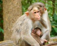 Mützen-Makaken - indischer Affe - Familie mit einem Jungen Lizenzfreies Stockfoto