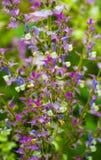 Mądra lecznicza roślina Mędrzec clary mędrzec roślina w ogródzie w summ Obraz Stock