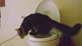 Mądry Maine Coon kot używa toaletowego łęk 3840x2160 zbiory